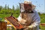 توليد 3131 تن عسل از کندوهای شهرستان مراغه