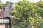 حصاد العنب في مهاباد غرب ايران