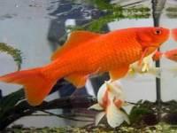 اداره دامپزشکی شهرستان رباط کریم / نحوی خرید و نگهداری ماهی قرمز برای شب عید